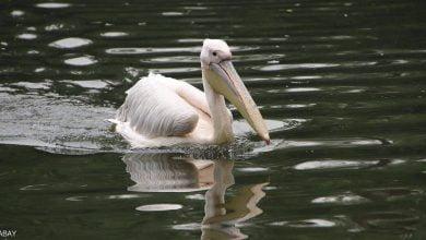 صورة إنفلونزا الطيور تجتاج محمية طبيعية في موريتانيا